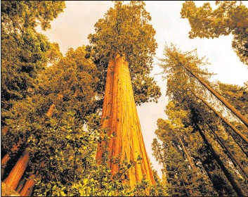 ?? Noah Berger The Associated Press ?? Sequoia trees stand in Lost Grove along Generals Highway in Sequoia National Park as the KNP Complex Fire burns Friday about 15 miles away.