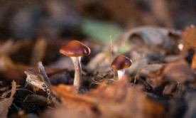 ?? Photograph: Imperial College London/PA ?? One of the authors of the study warned against seeking out mushrooms for DIY treatment.