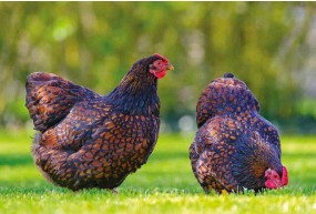 """??  ?? A couple of hens can turn a boring backyard into a free-range """"pasture!"""""""