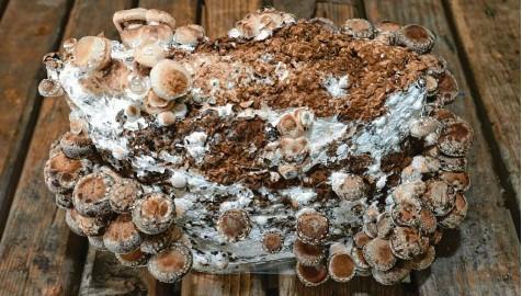 ?? Foto: dpa ?? Welches Substrat man nimmt, hängt von der Pilzart ab: steriles Buchensägemehl ist für Edelpilze wie Shiitake ideal.