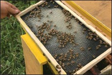 ?? Photos contributed ?? From one of the hives a frame with some of the bees on it.