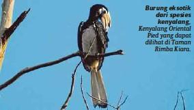??  ?? Burung eksotik dari spesies kenyalang, Kenyalang Oriental Pied yang dapat dilihat di Taman Rimba Kiara.