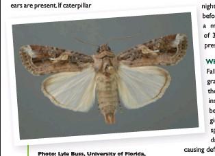??  ?? Photo: Lyle Buss, University of Florida, Bugwood.org.