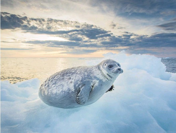 ?? PHOTOGRAPH: PAUL SOUDERS/GETTY ?? Ringed seal, Canada. Textile fibres from the north Atlantic 'drive the Arctic Ocean's microplastics pollution'