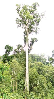 ??  ?? The world's tallest tropical tree is a towering 94.1 metres 'seraya kuning siput' with a canopy measuring 40.3 metres in diameter.