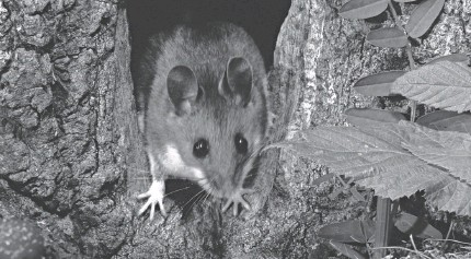 ?? WEBER/GETTY IMAGES ?? The Sin Nombre hantavirus is spread by the deer mouse.