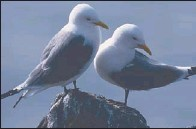 ?? Picture: RSPB Scotland. ?? Kittiwakes are among the birds being hit by climate change, RSPB Scotland said.