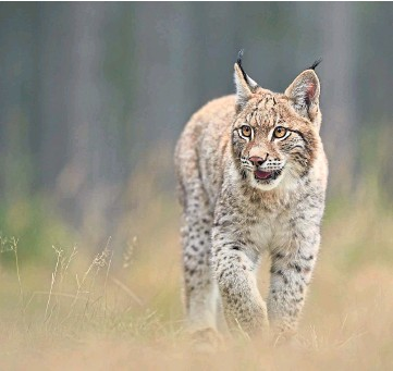 ??  ?? NATURE: A pilot project to reintroduce the Eurasion lynx to Scotland will be considered.