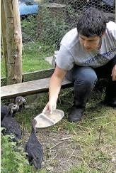 ??  ?? Alex, 16, feeding the four baby turkeys in the orchard