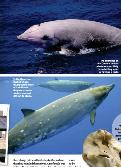 ??  ?? Unlike these two, beaked whales usually spend most of their time in deep water so are seldom seen and difficult to study. The scratches on this Cuvier's beaked whale are most likely from battling squid or fighting a male.