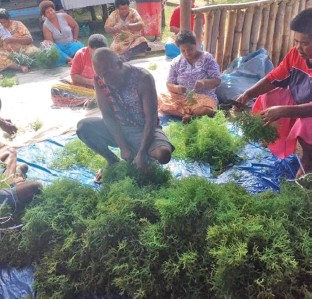 ?? Photo: Ministry Of Fisheries ?? Entire communities can get involved in seaweed farming. Seen here in a pre-COVID-19 moment are villagers of Muanaira Village in Vutia, Rewa preparing seaweed for planting.