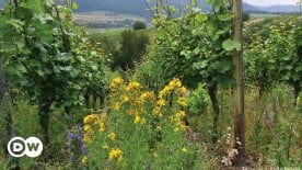 ??  ?? Experts say vineyards should promote biodiversity to become more resistant to climate change