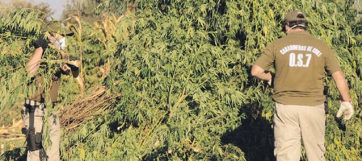 ??  ?? ► Se han identificado zonas nuevas de cultivo y producción de cannabis.