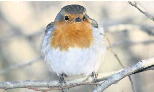 ??  ?? ●● A robin fluffed up against the winter cold