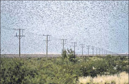 ?? Photo: Wikus de WET/AFP ?? Farmer's nightmare: Brown locusts are endemic in the Karoo, but this year's rains have led to a strong outbreak. The department of agriculture is helping contain the migration into irrigation areas.