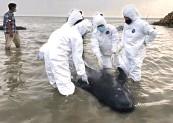 ?? FKH UNAIR FOR JAWA POS ?? TUNGGU HASIL PATOLOGI: Tim FKH Unair melihat kondisi paus yang terdampar di Pantai Modung, Bangkalan.