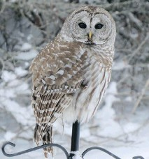 ?? LINDA COOKE ?? Barred Owls continue to move out of the woods as they search for small rodents. Some perch on bird feeders, watching for mice.