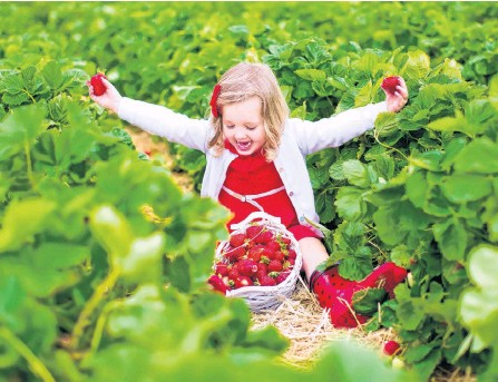 ?? 123RF STOCK ?? It's almost strawberry season in Atlantic Canada, and local producers are expecting to have berries available a little earlier than usual.