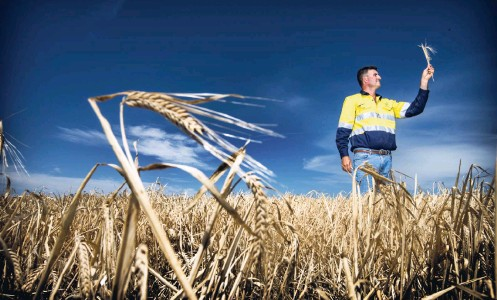?? Picture: Simon Santi ?? Beverley farmer Duncan Young in one of his Spartacus barley fields.