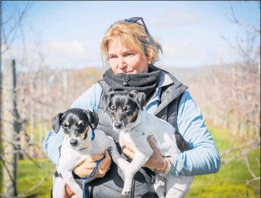 ?? PHOTOS / WARREN BUCKLAND ?? Jo Linton with her dogs Yogi (left) and Lilly at work on a Longlands Rd orchard in Hastings.