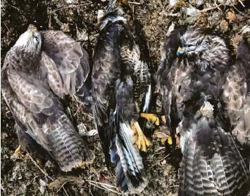 ?? Foto: Bettina Schröfl, LBV ?? Diese drei toten Mäusebussarde wurden von einer Spaziergängerin entdeckt. Die Tiere wurden vermutlich vergiftet und dann eine Böschung hinuntergeworfen.