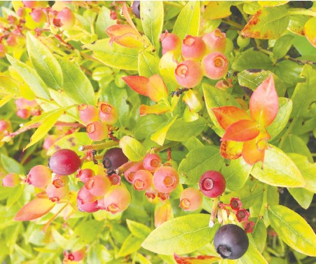 ?? PHOTOS: MINTER COUNTRY GARDEN ?? In the process of ripening, blueberries go from green to a dark shade of bluish purple.
