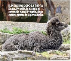 ??  ?? IL PISOLINO DOPO LA PAPPA Roma. Priscilla, la cucciola di cammello nata il 1° aprile, dopo essersi nutrita fa la pennichella.