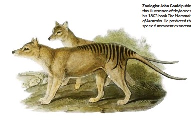 ??  ?? Zoologist John Gould published this illustration of thylacines in his 1863 book The Mammals of Australia. He predicted the species' imminent extinction.