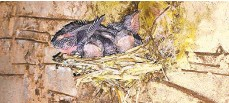 ?? LVAUDUBON SOCIETY/CONTRIBUTED PHOTO ?? Chimney swifts in a nest.