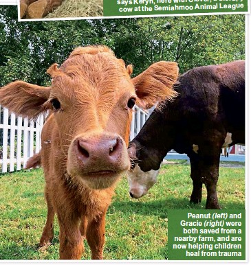 ??  ?? Peanut ( left) and Gra­cie ( right) were both saved from a nearby farm, and are now help­ing chil­dren heal from trauma