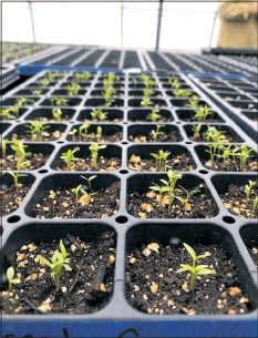 ?? CONTRIBUTE­D PHOTO ?? The University of Maryland Extension's Queen Anne's County office suggests that February is a good time to start growing seeds indoors for this year's garden.