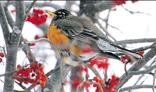 ?? JUDITH GUSTAFSSON ?? The American Robin winters in small numbers in eastern Ontario and the Outaouais region. A few groups of these robins have been sighted recently as they search for berries.