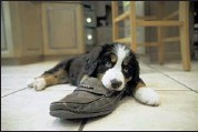 ??  ?? One of the 8-week- old Bernese mountain dog puppies chews on her master's shoe. After a grueling process to breed and then deliver mama dog Libby's offspring, she obliged with a litter of eight beautiful little descendants.