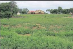 ??  ?? INVADER: Famine weed near uMkhuze section of iSimangaliso.