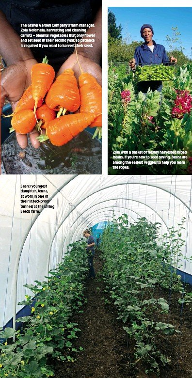 ??  ?? Sean's youngest daughter, Jenna, at work in one of their insect-proof tunnels at the Living Seeds farm. The Gravel Garden Company's farm manager, Zola Nofemela, harvesting and cleaning carrots – biennial vegetables that only flower and set seed in...