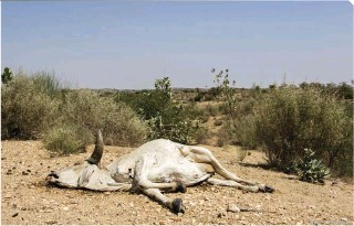 ?? © GETTY IMAGES ?? Top right: This cow is a victim of the ongoing drought in the Sindh Province and surrounding areas of Pakistan, where disease and hunger among humans are alarmingly high because of the lack of enough potable water. Up to 5 million people have been affected so far.