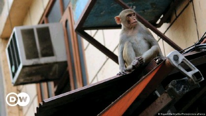 ??  ?? Monkeys in urban areas have entered homes looking for food