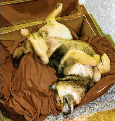 ??  ?? In sonderbarer Pose schläft Stivi von Paul Hiermüller aus Egling (Landkreis Lands‰ berg) in seinem Bett. Wovon er wohl gerade träumt?