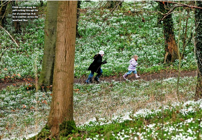 ??  ?? Children run along the path cutting through the riot of snowdrops that lie in swathes across the woodland floor.