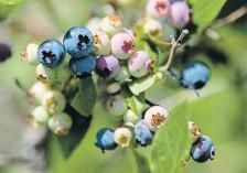?? MATHEW MCCARTHY WATERLOO REGION RECORD ?? Blueberries grow on a bush at TNT Berries.