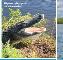 ??  ?? Alligators - photogenic but to be avoided