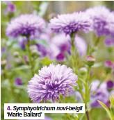 ??  ?? 4. Symphyotrichum novi-belgii 'Marie Ballard'