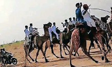 ??   IANS ?? WEDDING processions on camels have returned to Rajasthan.