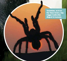 ??  ?? Tarantulas, such as the Texas brown, may trigger instinctiv­e disgust in humans.