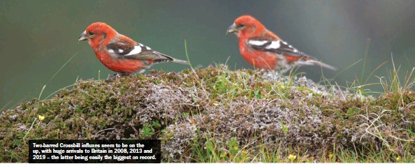 ??  ?? Two-barred Crossbill influxes seem to be on the up, with huge arrivals to Britain in 2008, 2013 and 2019 – the latter being easily the biggest on record.