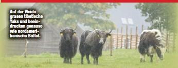 ?? ?? Auf der Weide grasen tibetische Yaks und beeindrucken genauso wie nordamerikanische Büffel.