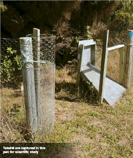 ??  ?? Takahē are captured in this pen for scientific study