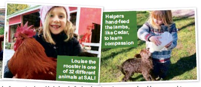 ??  ?? Louise the rooster is one of 32 dif­fer­ent an­i­mals at SALI Helpers hand-feed the lambs, like Cedar, to learn com­pas­sion