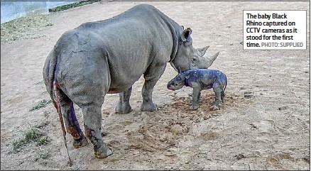 ??  ?? The baby Black Rhino captured on CCTV cameras as it stood for the first time. PHOTO: SUPPLIED