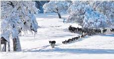 ?? FOTO: SWARAN ARRI ?? Auch die Rehe am Gauger haben derzeit mit den Schneemassen zu kämpfen. Aber sie kommen mit den frostigen Temperaturen gut zurecht.